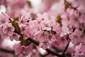 Cherry Blossoms Close-up