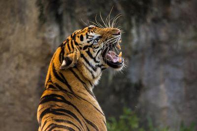 A tiger is roaring at the Washington National Zoo