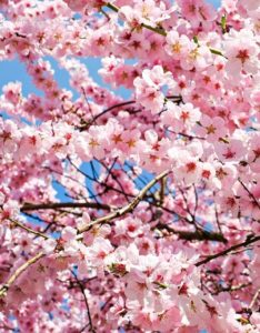 Pink cherry blossoms begin to bloom in early April.