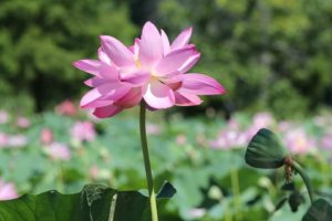 A lotus in Bloom at the Botanic Garden.