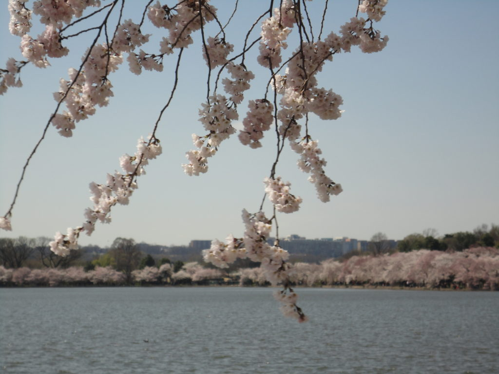 Tidal basin cherry blossom